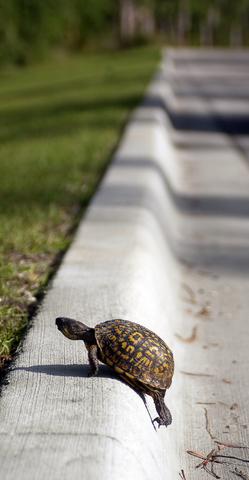struggling-turtle